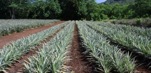 Pineapple fields forever...